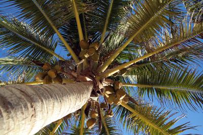 Kokospalmen produzieren Kokosöl