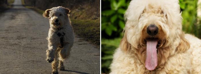 Hunderassen im Frohlinder Portrait: Labradoodle