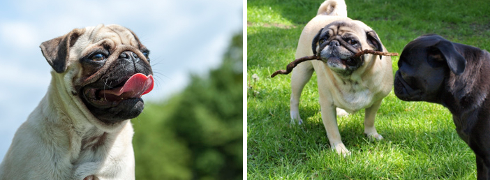 Hunderassen im Frohlinder Portrait: Mops
