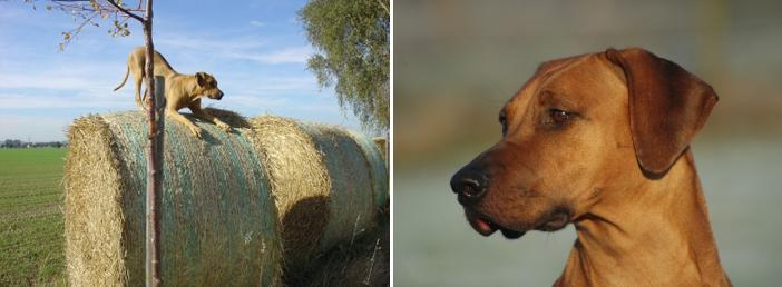 Rhodesian Ridgeback – Löwenhund mit großem Herz